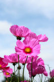 Pink Cosmos blooming. On  blue sky background Stock Photos