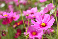 Pink Cosmos blooming. On field Stock Photo