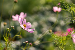 Pink cosmos Stock Image