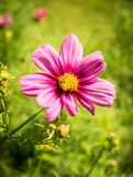 Pink Cosmos Blossom Royalty Free Stock Photos