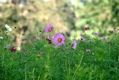 Pink cosmos Stock Images