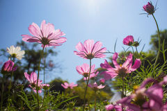 Pink cosmos in blue sky background Royalty Free Stock Photography