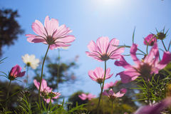 Pink cosmos in blue sky background Stock Image