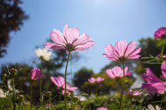 Pink cosmos in blue sky background Royalty Free Stock Photo
