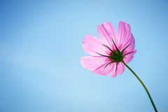 Pink Cosmos on blue sky background Stock Photo