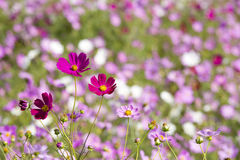 Pink cosmos and blur Royalty Free Stock Images
