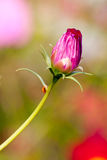 Pink cosmos bud close up Royalty Free Stock Image