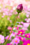 Pink cosmos bud close up Royalty Free Stock Photo