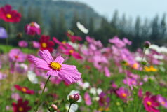 Pink cosmos Royalty Free Stock Images