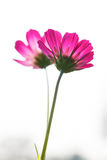 Pink cosmos 2 Stock Image