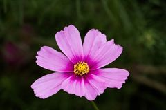 CMacro of a Pink Cosmo Flower. A pink Cosmos, Cosmos bipinnatus, with extreme shallow depth of field Royalty Free Stock Image