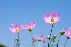 Pink cosmos field Stock Images