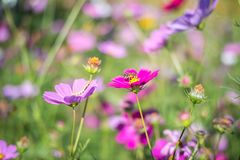 Pink cosmos field with bee and worm. Pink cosmos field with blue sky background, Pink cosmos field, Pink cosmos field with bee and worm Stock Images