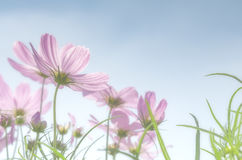 Pink cosmos field stock image