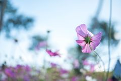 Pink cosmos field with blue sky background. Pink cosmos field, back Pink cosmos field Stock Images
