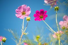 Pink cosmos field with blue sky background stock photos