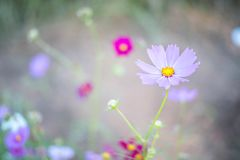 Pink cosmos field with blue sky background. Pink cosmos field, back Pink cosmos field Royalty Free Stock Photography