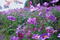 Pink Cosmos Field and Sun Shade Royalty Free Stock Photography