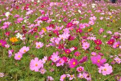 Pink cosmos field in sunlight Stock Photo