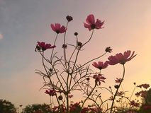 Pink Cosmos field in sunset light Stock Photos