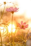 Pink cosmos on field in sunset Stock Photo