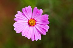 Pink cosmos flowe and flowerbackground. Pink cosmos flowe and flowerbackground Royalty Free Stock Image