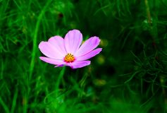 Pink cosmos flowe and flowerbackground. Pink cosmos flowe and flowerbackground Royalty Free Stock Photography
