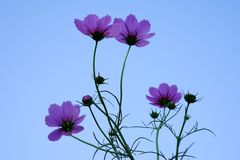 Pink cosmos flower(Galsang flower)in the sunshine