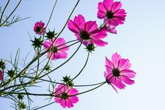 Pink cosmos flower(Galsang flower)in the sunshine royalty free stock photo