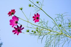 Pink cosmos flower(Galsang flower)in the sunshine stock photos