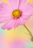 Pink cosmos flower Royalty Free Stock Photography