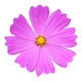 Pink cosmos flower vector illustration