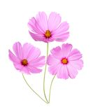 Pink Cosmos Flower Stock Photo