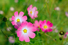Pink cosmos flower. Pink cosmos flower with blurred (defocused) green background stock image