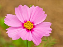 Pink cosmos flower autumn winter bloom Royalty Free Stock Image