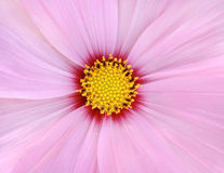 Pink cosmos flower background Stock Images