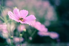 Pink cosmos flower with a bee closeup and vintage style image. stock photos