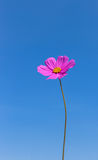 Pink cosmos flower blooming on blue sky background. Royalty Free Stock Photography