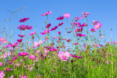 Pink cosmos flower blooming in the garden with blue sky backgroun Royalty Free Stock Photo