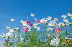 Pink cosmos flower on blue. Background Royalty Free Stock Photography