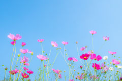 Pink cosmos flower on blue. Background Royalty Free Stock Photo