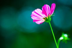 Pink cosmos flower on blue-green background Royalty Free Stock Image
