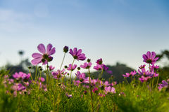 Pink cosmos flower in with blue sky6 Stock Image