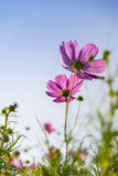 Pink cosmos flower in with blue sky4 Stock Photos