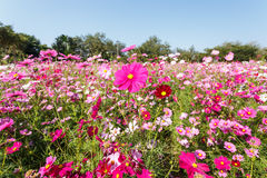 Pink Cosmos flower and blue sky Royalty Free Stock Images