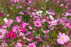 Pink Cosmos flower and blue sky Royalty Free Stock Image