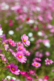Pink Cosmos flower and blue sky Stock Photo