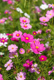 Pink Cosmos flower and blue sky Royalty Free Stock Photo