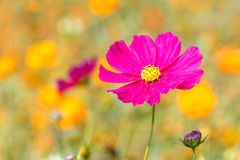 Pink Cosmos flower and blue sky Royalty Free Stock Photos