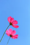 Pink Cosmos flower and blue sky Stock Photography